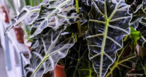 How To Grow And Care For Alocasia Amazonica