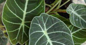 Alocasia Propagation Guide: How To Propagate Alocasia Plants
