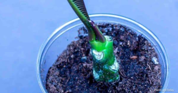 Cutting of a Plumeria plant