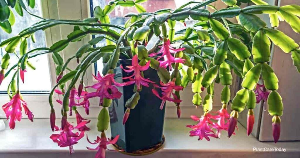 Blooming Christmas Cactus in window