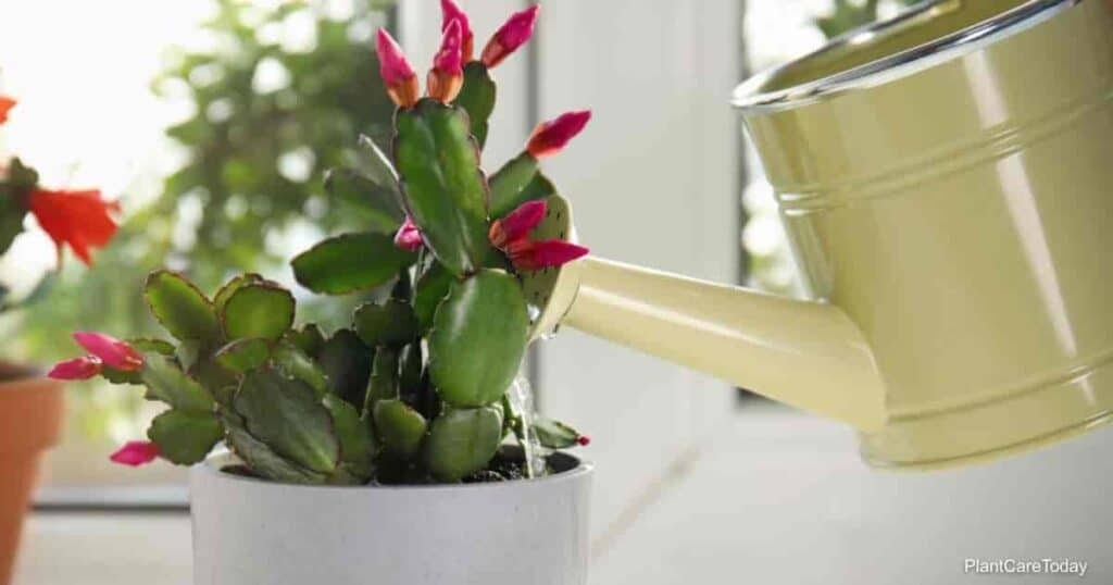 Watering the Christmas cactus