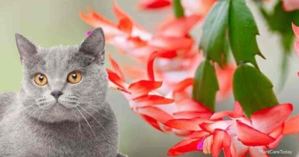 Cat and Christmas Cactus - Safe?