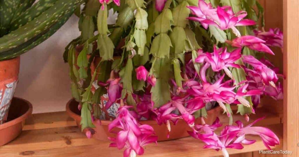 Flowering Christmas Cactus plant
