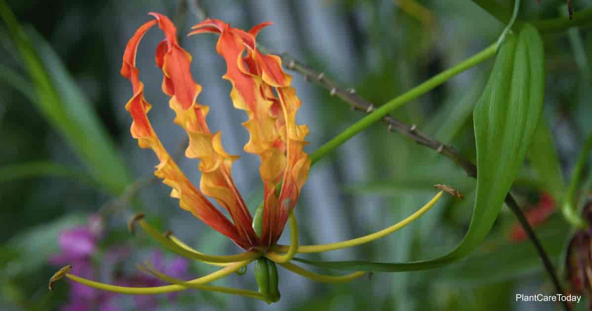 Flower of the Gloriosa Lily