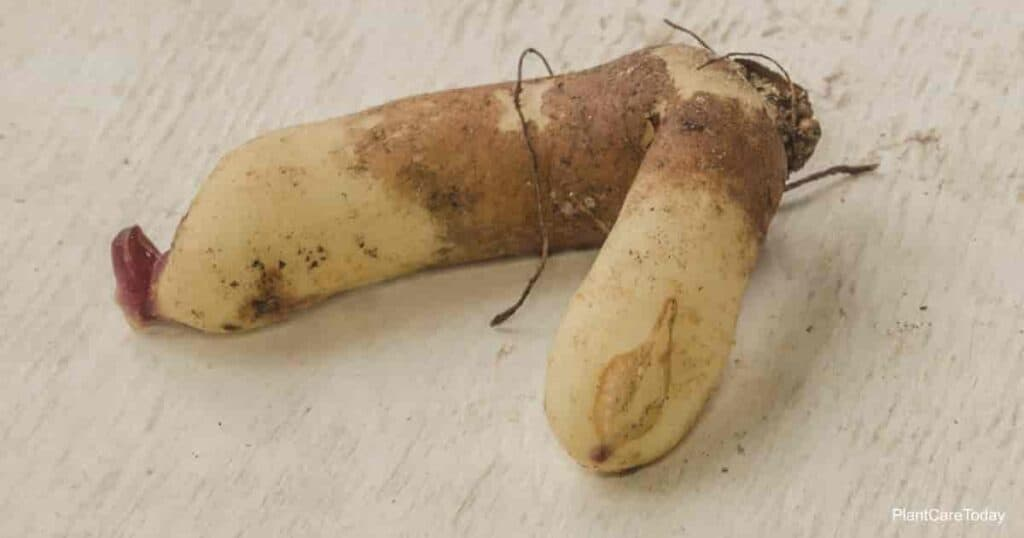 V shaped tubers of Gloriosa lily.