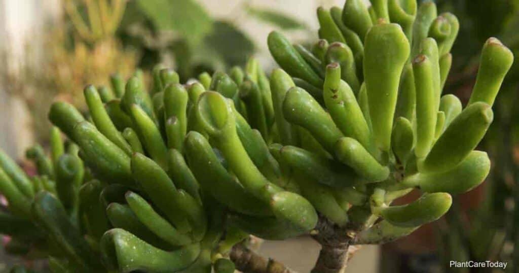 Gollum Jade - Crassula ovata 'Gollum'