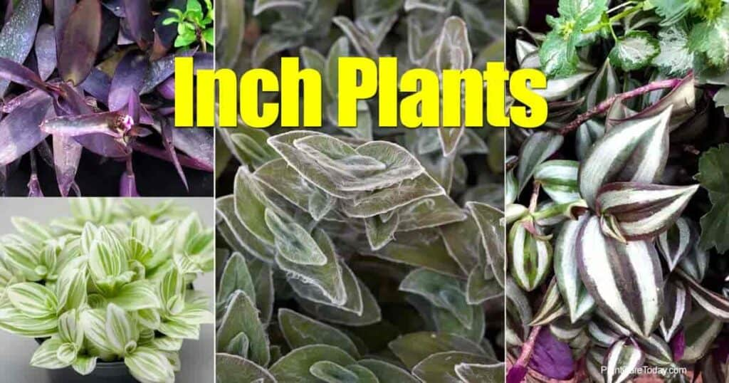 Various inch plants