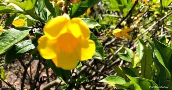 dwarf allamanda bloom