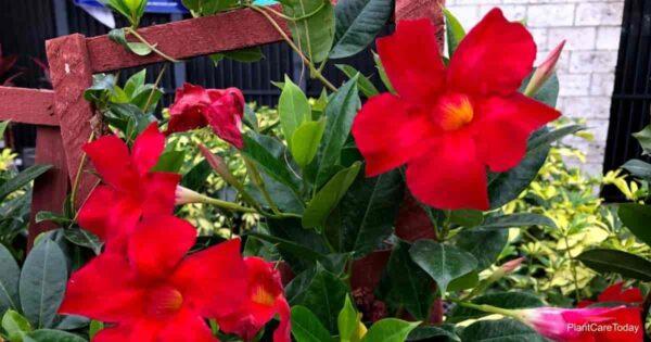 Mandevilla a good warm weather vine