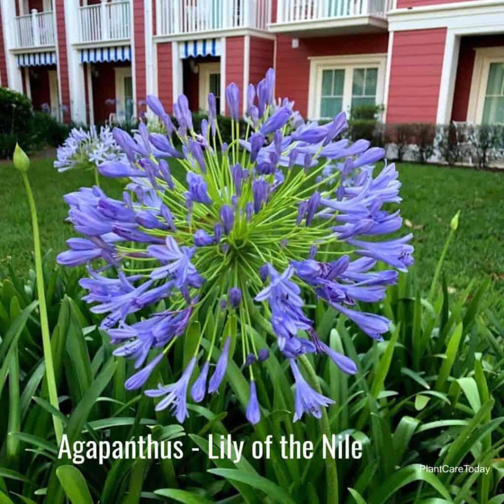 Blooming Agapanthus up close, Disney World, Epcot Resort area, Orlando Florida June, 2021