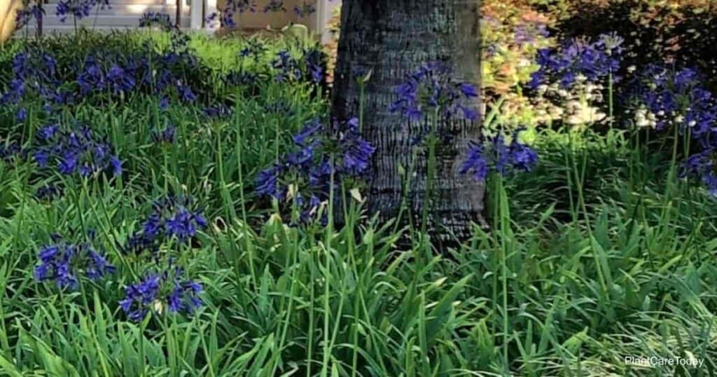 Dark violet blooms of Agapanthus plants in flower at Disney World, Contemporary Hotel, Orlando, Florida May 2021