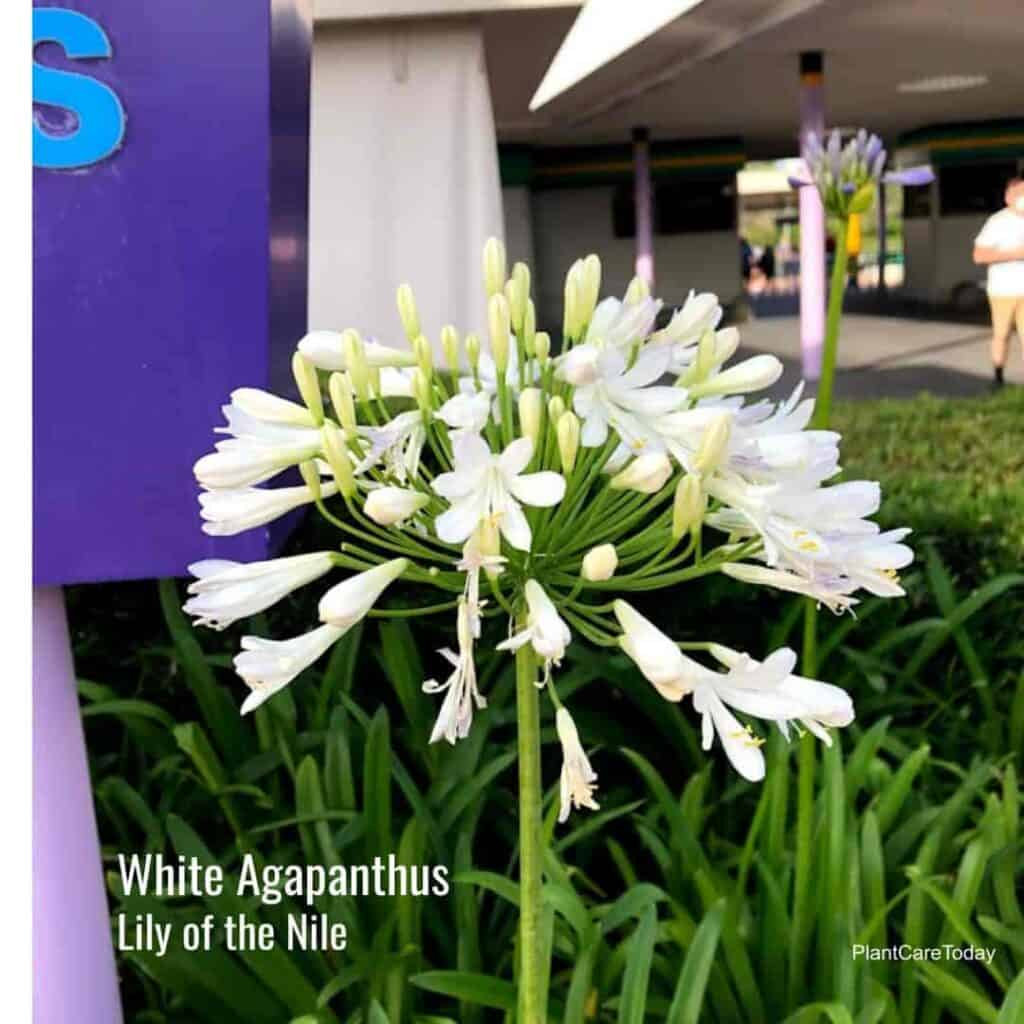 White flowering Agapanthus