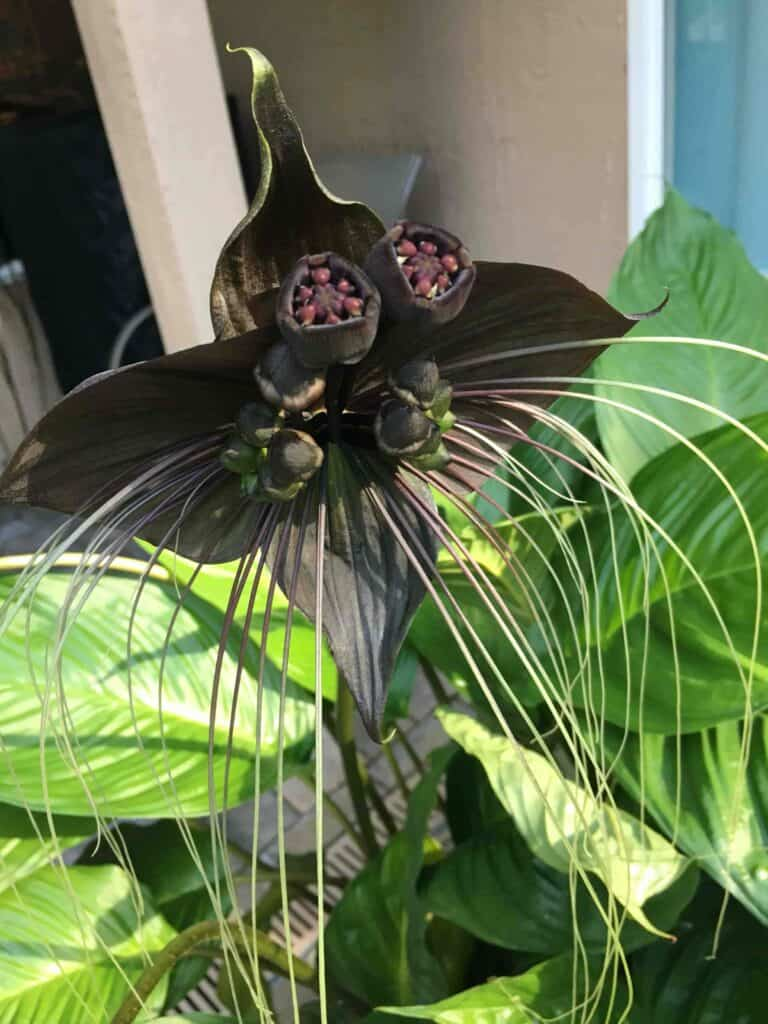 Tacca flower up close with seed pod