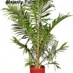 Why The Majesty Palm Is A BAD House Plant Or Indoor Palm