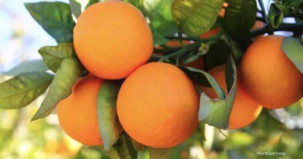 Ripe orange citrus ready for picking