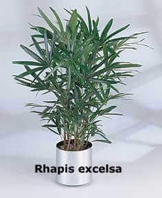 RhapisExcelsa