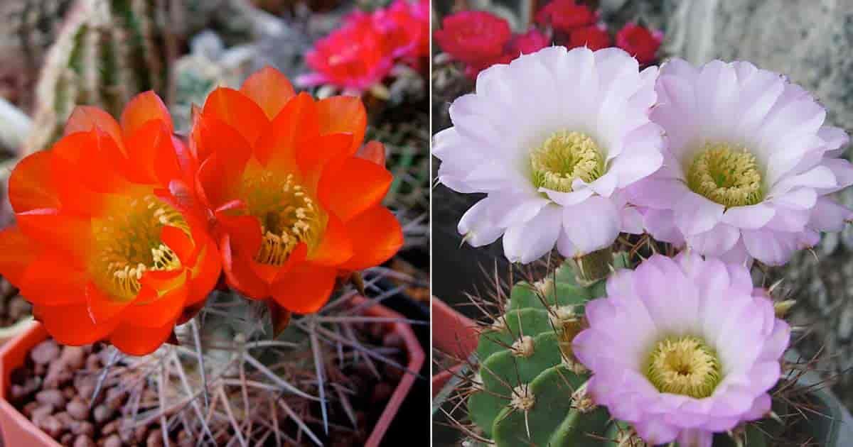Flowering Acanthocalycium glaucum and Acanthocalycium violaceum