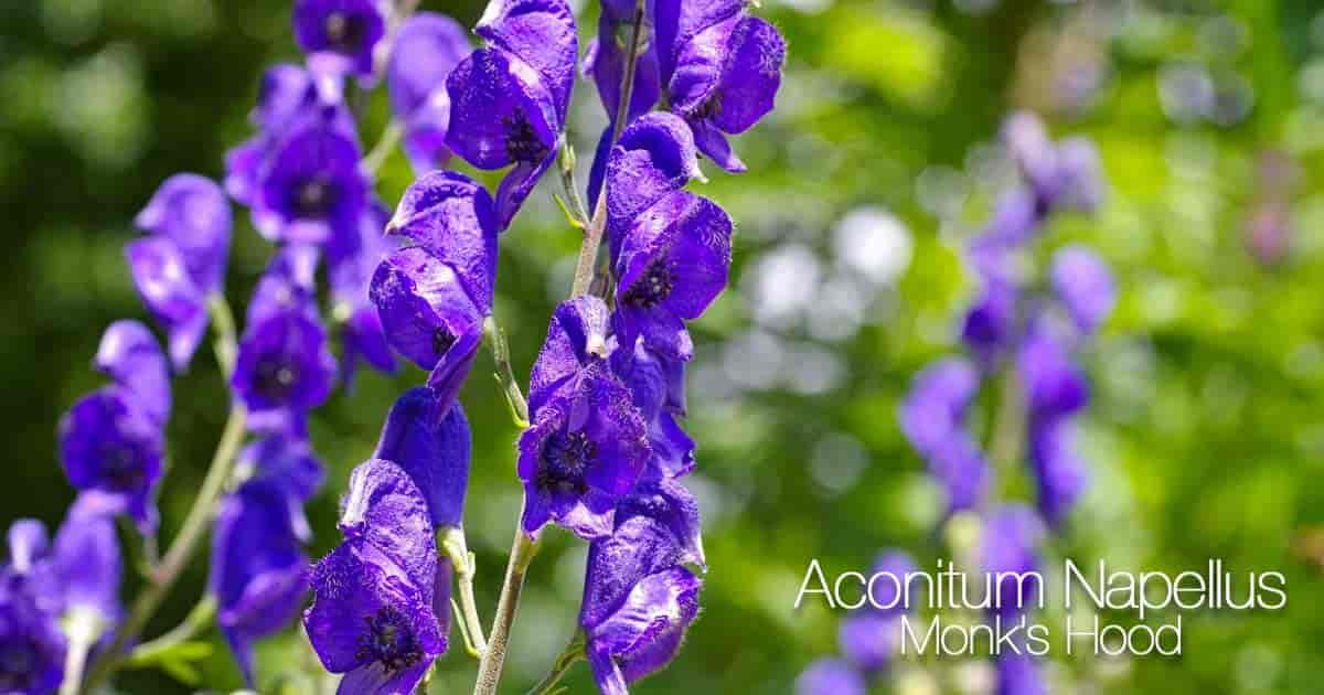 Blooming toxic Aconitum Napellus (Monk's Hood)