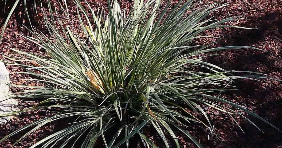 Growing Acorus Gramineus 'Variegatus' Plants: Caring For Sweet Flag