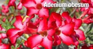 flowering Adenium - Desert Rose