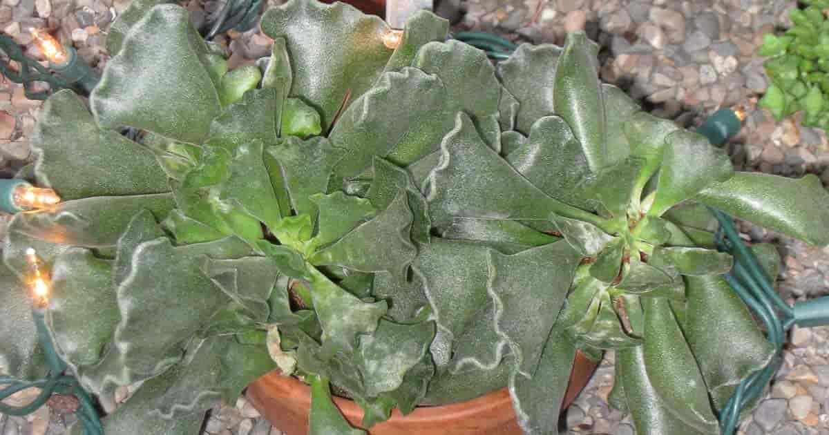 Crinkle Leaf Plant Adromischus Cristatus