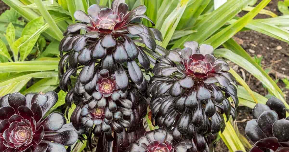 Aeonium arboreum 'Zwartkop' branching plant