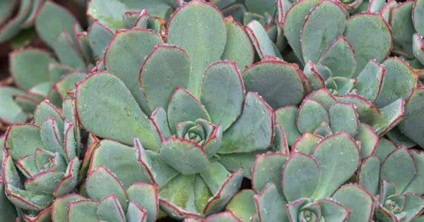 Aeonium Pinwheel unclose