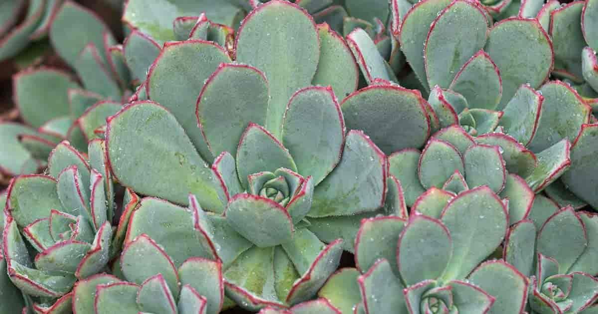 Aeonium Haworthii Care Growing Pinwheel Plants