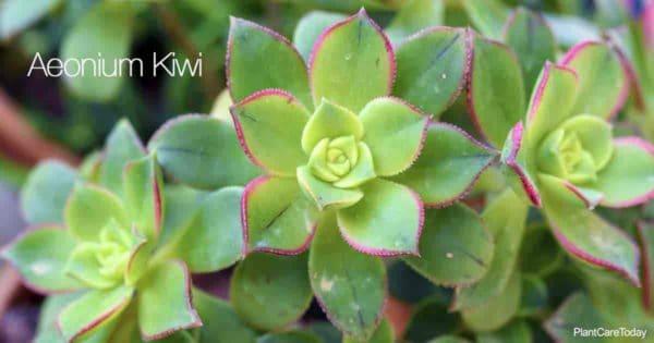 Potted Aeonium Kiwi