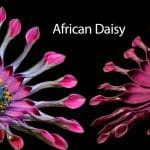 African Daisy: How To Grow And Care For Osteospermum