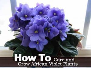 African Violet growing in a window