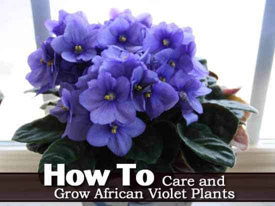 african violets how to grow indoors