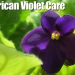 African Violet Care: Growing In Winter and Summer