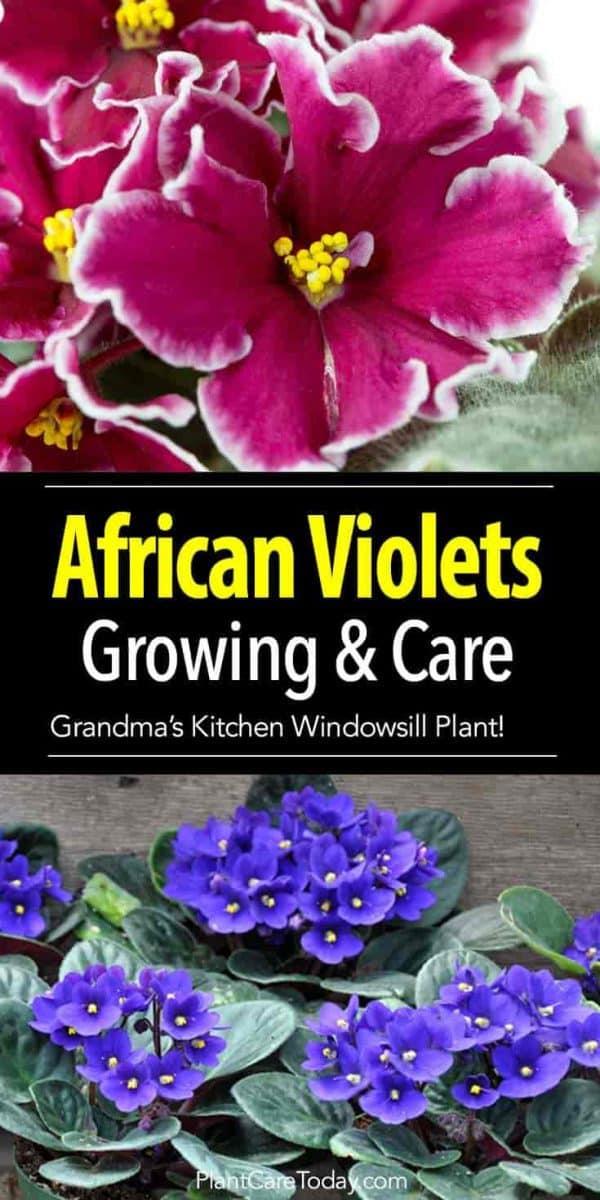 flowering african violets