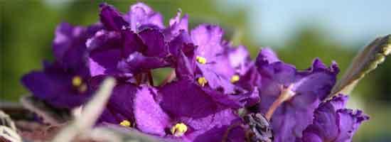 african-violet-close-550