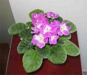african-violet-end-table