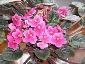 african-violet-pink-bloomer