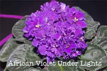 african violet under lights