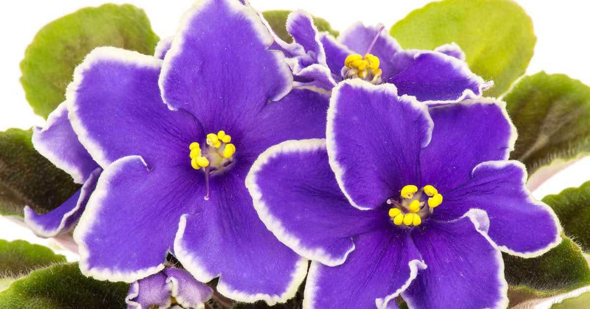 Growing African Violets My Way