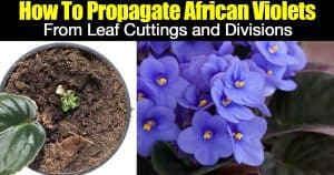 rooting leaves and a blooming African Violet