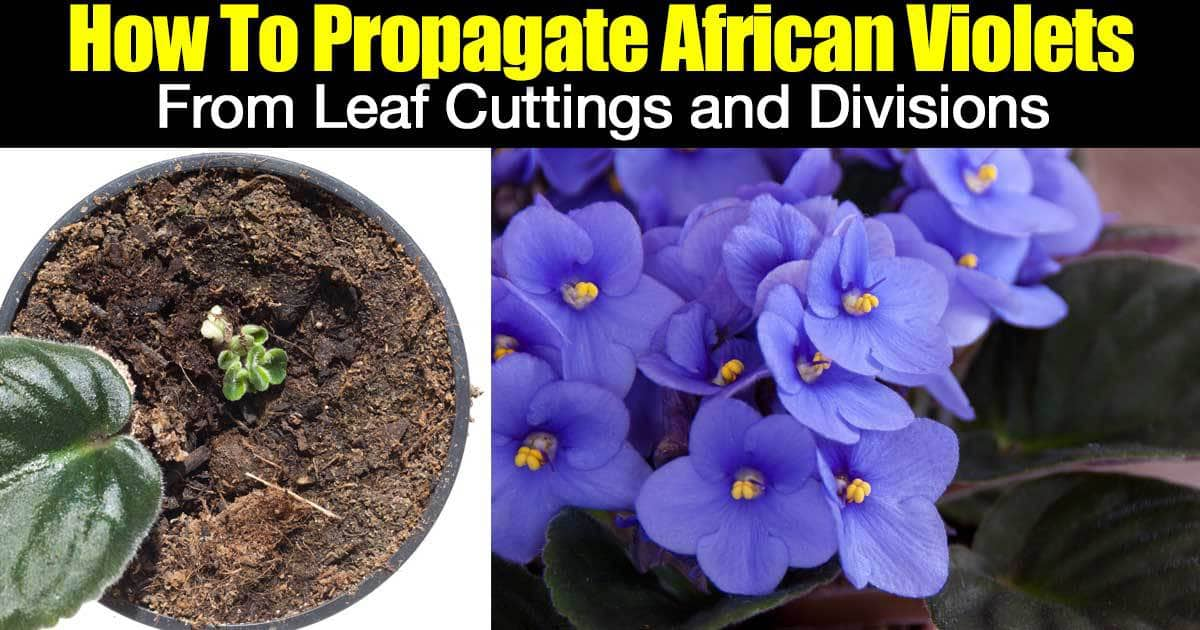 african-violets-propagation-01312016