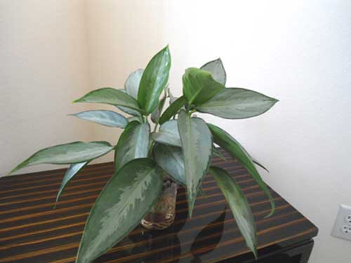 A Dracaena Marginata Needs Pruning How To Do It  Joy Us