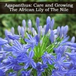 Agapanthus Plant: How To Care For The Blue African Lily of the Nile