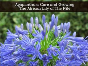blooms of the Agapanthus