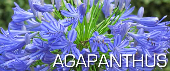 flowers of the blue agapanthus afrucanus