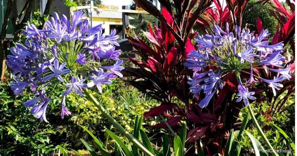 Blooming Agapanthus planted in landscape
