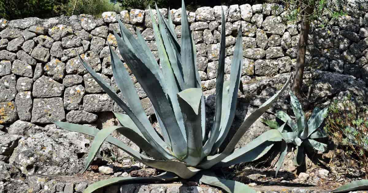 Large blue-green leaves of the Century Plant (Agave americana)