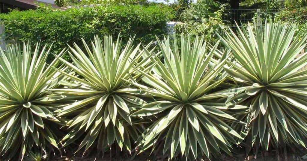 Large plants of the Caribbean Agave (Angustifolia)