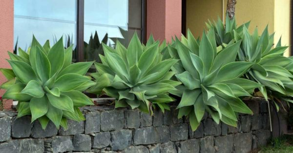 Several Agave attenuate plants growing in the landscape in front of commercial building