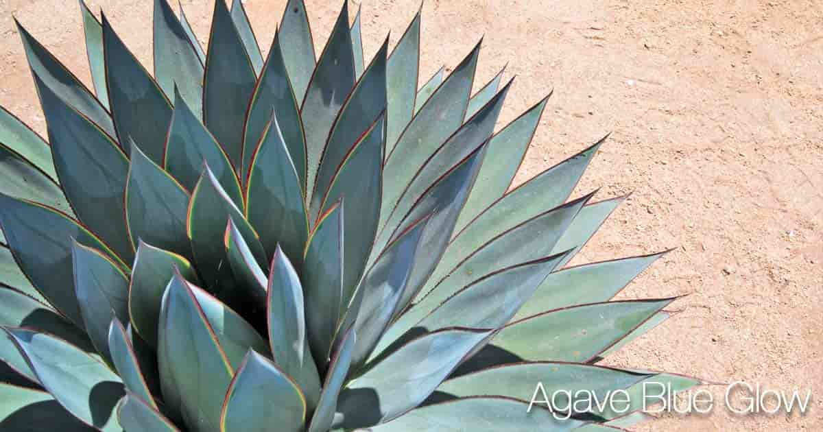 Blue Glow Agave low growing hybrid